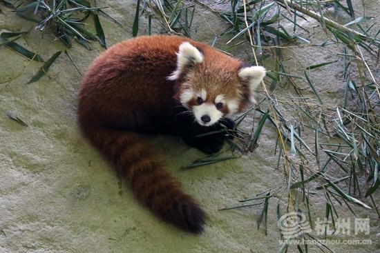 11只小熊猫正式亮相杭州