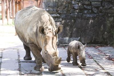 杭州野生动物世界,刚刚出生的白犀牛宝宝亮相